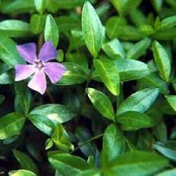 VINCA - PERIWINKLE - 3 small plants